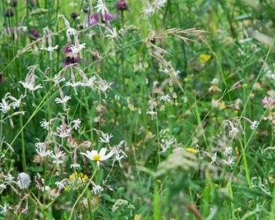 Wildkräuter Mischung - Trockenwiesenkräuter Wildblumen